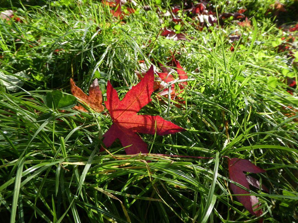 Une feuille rouge dans l'herbe verte.