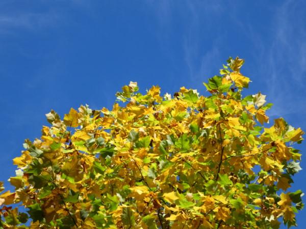 La vaste palette des couleurs des feuilles à l'automne.
