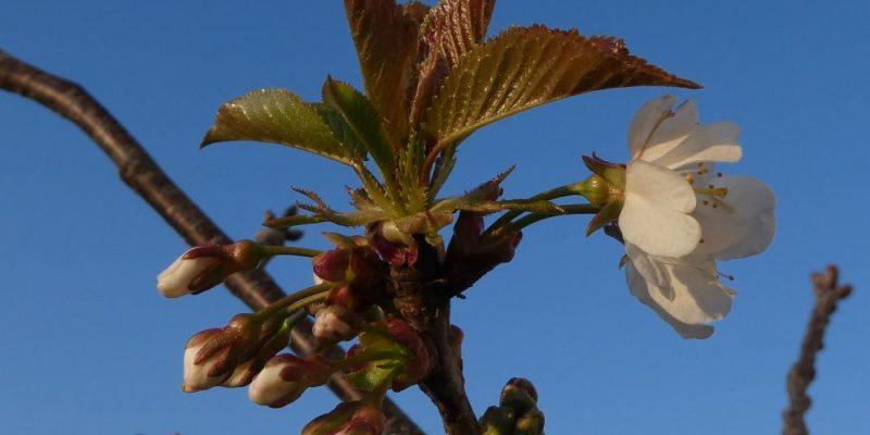 Le petit cerisier en fleur.
