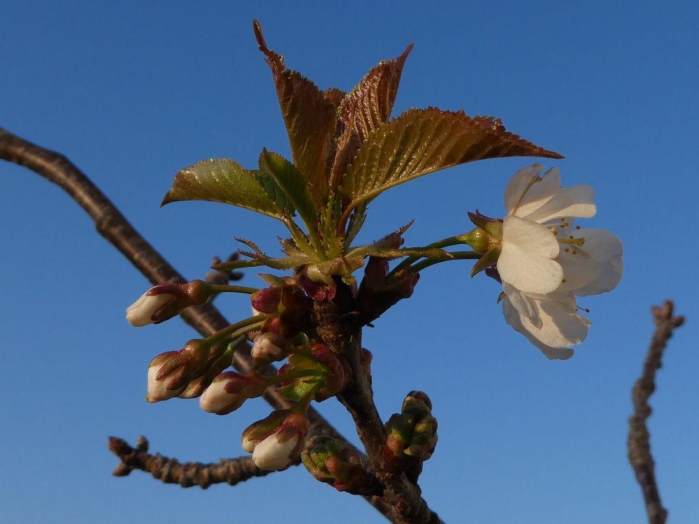 Le petit cerisier de ma terrasse fleurit pendant ce confinement imposé.